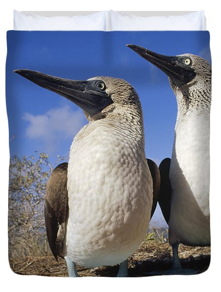 Blue-footed Booby Courting Couple Duvet Cover by Tui De Roy
