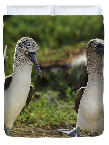 Blue-footed Booby Pair In Courtship Duvet Cover by Tui De Roy