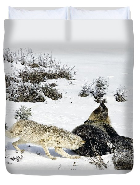 Duvet Cover featuring the photograph Coyote Biting A Grizzly by J L Woody Wooden