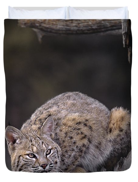 Crouching Bobcat Montana Wildlife Duvet Cover by Dave Welling