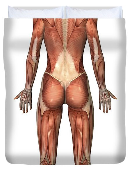 Female Muscular System, Back View Duvet Cover by Stocktrek Images