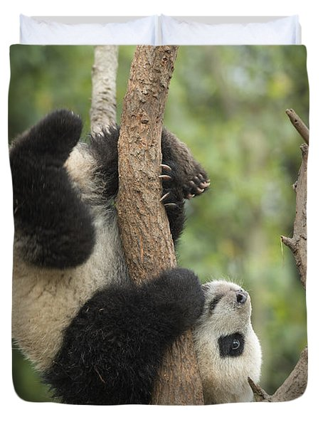 Giant Panda Cub In Tree Chengdu Sichuan Duvet Cover by Katherine Feng