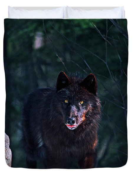 Gray Or Timber Wolf Canis Lupus Duvet Cover