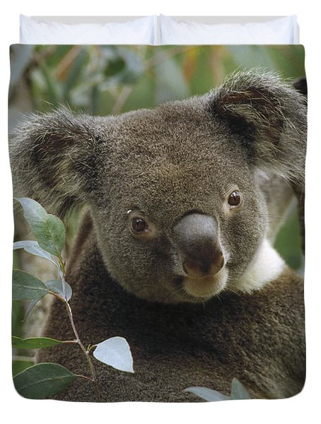 Koala Male In Eucalyptus Australia Duvet Cover by Gerry Ellis