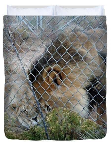 Out Of Africa Lions 4 Duvet Cover