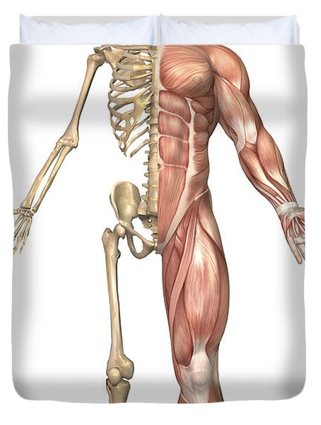 The Human Skeleton And Muscular System Duvet Cover by Stocktrek Images