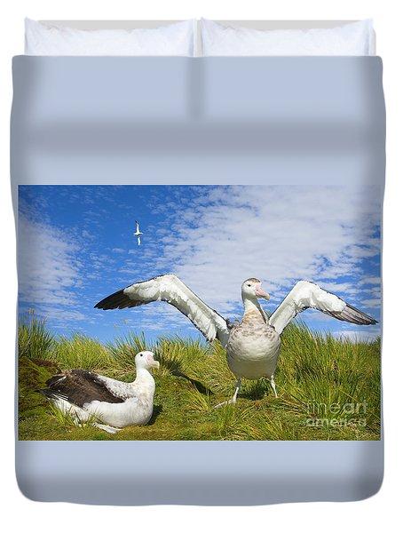 Wandering Albatross Courting  Duvet Cover by Yva Momatiuk John Eastcott
