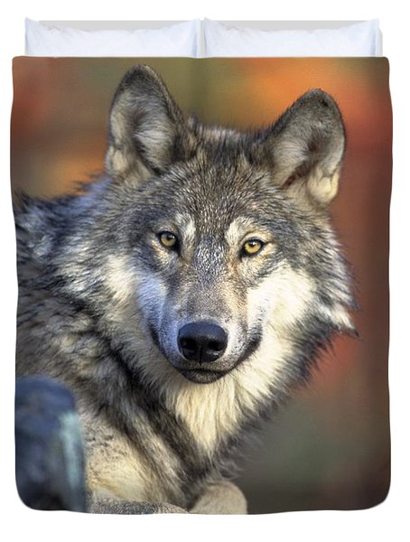 Duvet Cover featuring the photograph Wolf Predator Canidae Canis Lupus Hunter by Paul Fearn