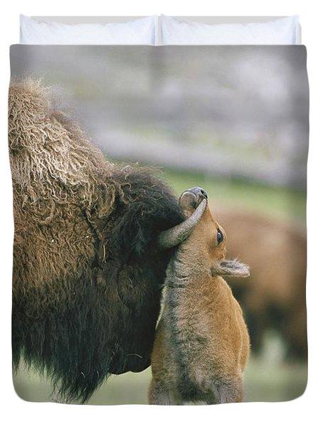 A Female Bison Bison Bison Stands Duvet Cover by Tom Murphy