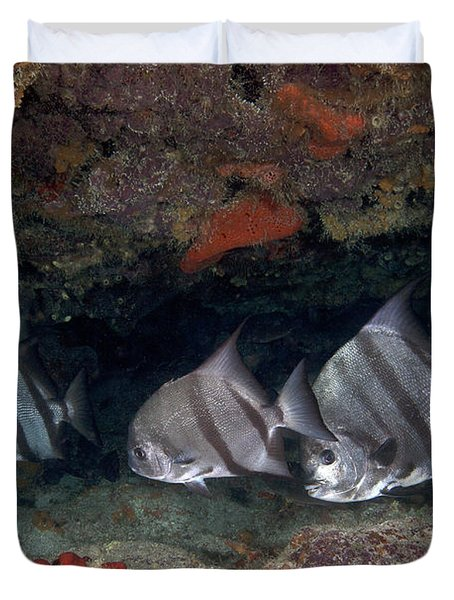 A School Of Atlantic Spadefish Duvet Cover by Terry Moore