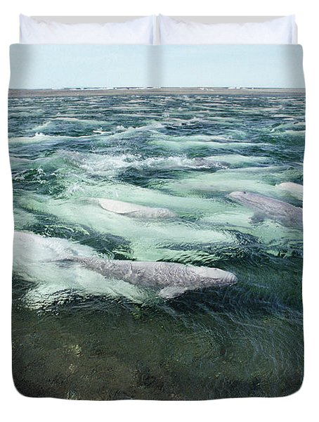 Belugas Swimming And Molting Duvet Cover by Flip Nicklin
