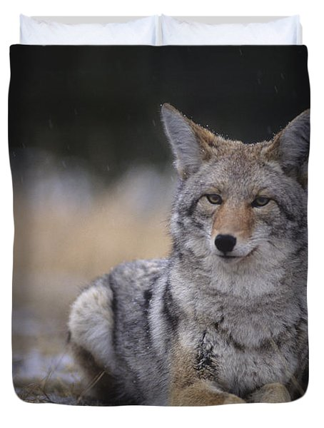 Coyote Resting In Winter Grass, Snowing Duvet Cover by Leanna Rathkelly