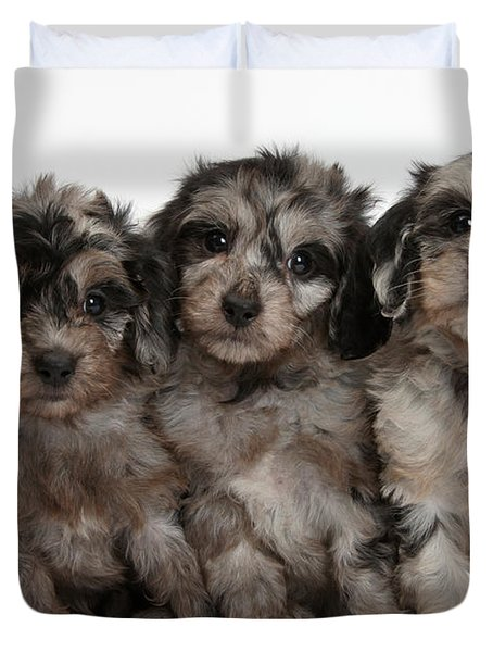 Daxiedoodle Poodle X Dachshund Puppies Duvet Cover by Mark Taylor