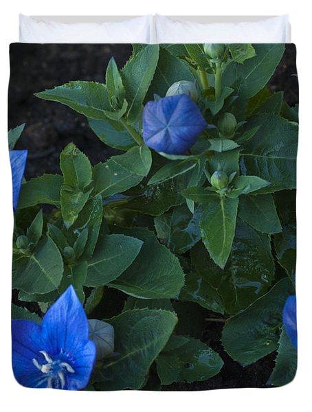 Dwarf Balloon Flower Platycodon Astra Blue 2 Duvet Cover by Steve Purnell