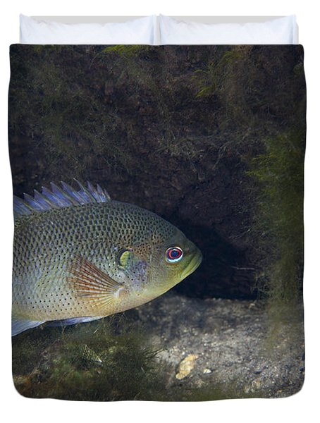 Green Sunfish Swimming Along The Rocky Duvet Cover by Michael Wood