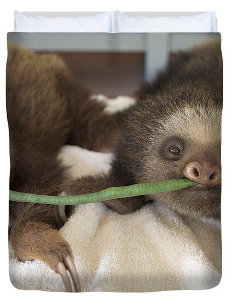Hoffmanns Two-toed Sloth Orphans Eating Duvet Cover by Suzi Eszterhas
