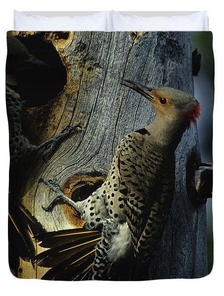 Northern Flickers Fight Over Nesting Duvet Cover