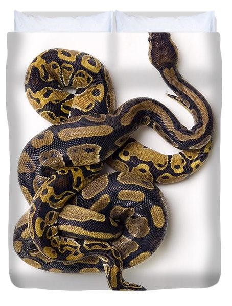 Two Ball Python Snakes Intertwined Duvet Cover by Corey Hochachka