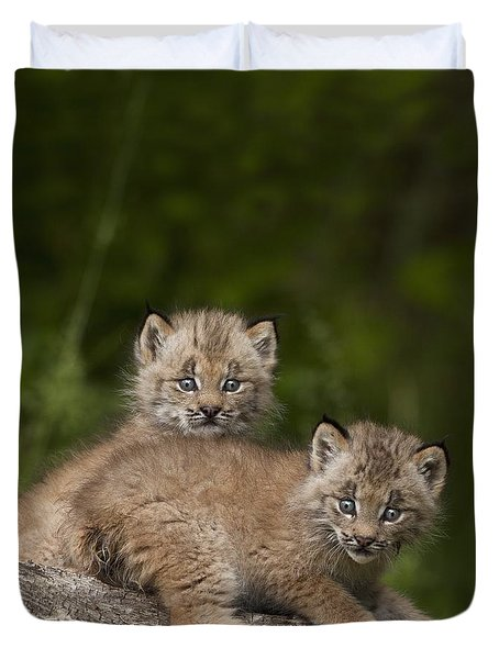 Two Canada Lynx Lynx Canadensis Kittens Duvet Cover by Richard Wear