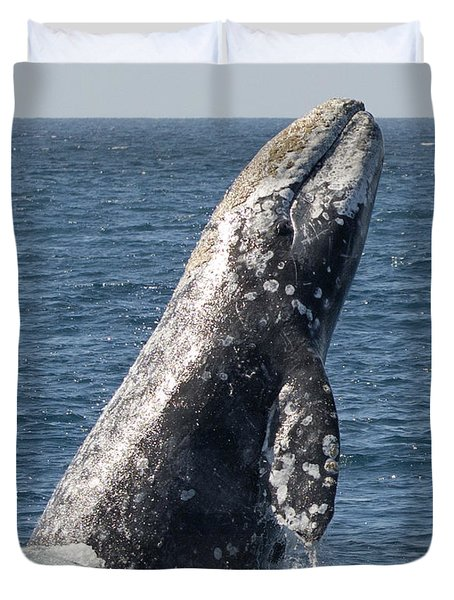 Breaching Gray Whale In Dana Point Duvet Cover by Loriannah Hespe