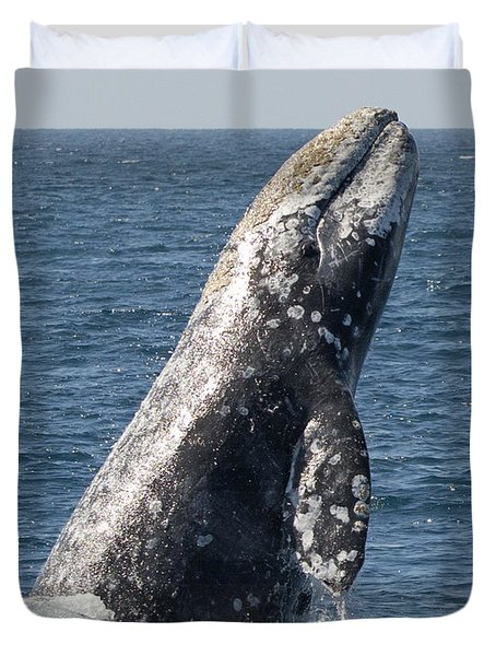 Breaching Gray Whale In Dana Point Duvet Cover