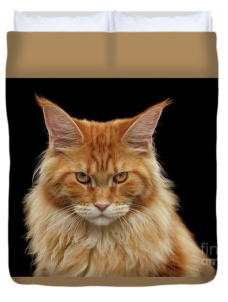 Angry Ginger Maine Coon Cat Gazing On Black Background Duvet Cover by Sergey Taran