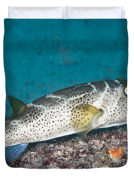 Bullseye Puffer - Galapagos Duvet Cover by Dave Fleetham - Printscapes