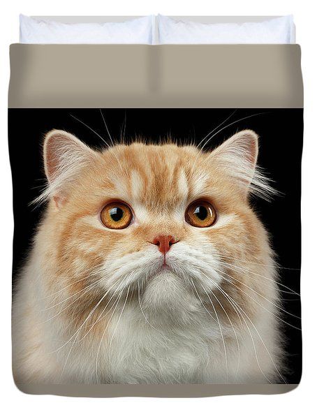 Closeup Portrait Of Red Big Persian Cat Angry Looking On Black Duvet Cover