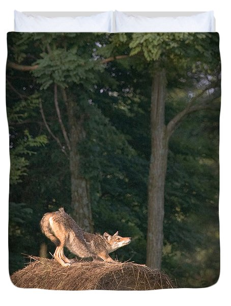 Coyote Stretching On Hay Bale Duvet Cover by Michael Dougherty