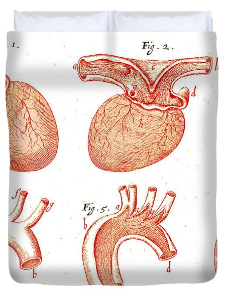 Heart And Aorta, Anatomical Duvet Cover