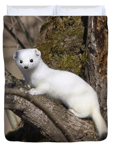 Short-tailed Weasel Mustela Erminea Duvet Cover by Konrad Wothe