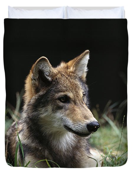 Timber Wolf Canis Lupus Portrait Duvet Cover