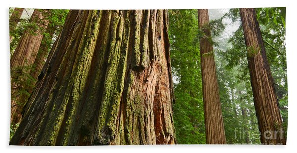 The Beautiful And Massive Giant Redwoods Sequoia Sempervirens In Redwoods National Park. Bath Towel