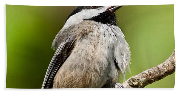 Black Capped Chickadee Singing Hand Towel