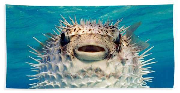 Close-up Of A Puffer Fish, Bahamas Hand Towel