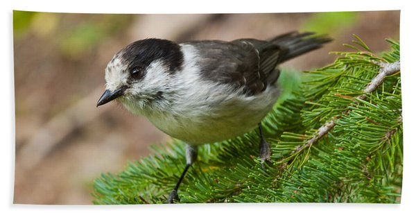 Gray Jay On Fir Tree Hand Towel