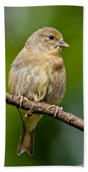 Juvenile American Goldfinch Bath Towel