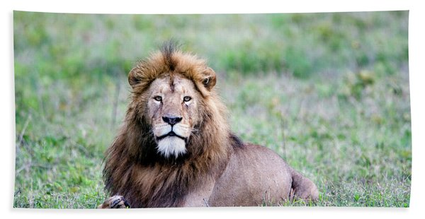 Lion Panthera Leo Relaxing In A Field Hand Towel