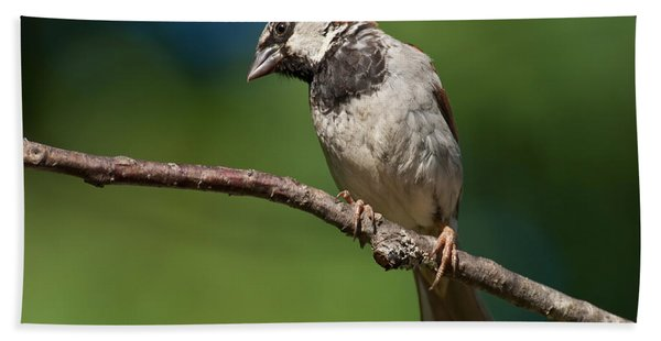 Male House Sparrow Perched In A Tree Hand Towel