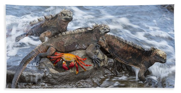Marine Iguana Trio And Sally Lightfoot Bath Towel