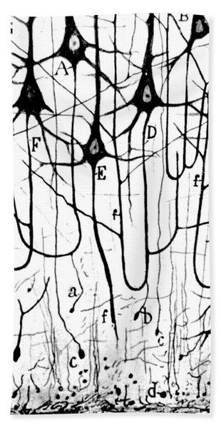 Pyramidal Cells Illustrated By Cajal Bath Towel