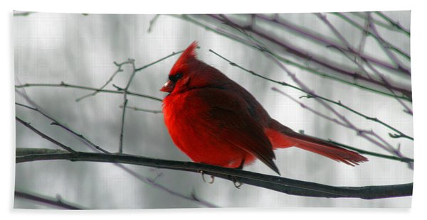 Red Cardinal On Winter Branch  Hand Towel