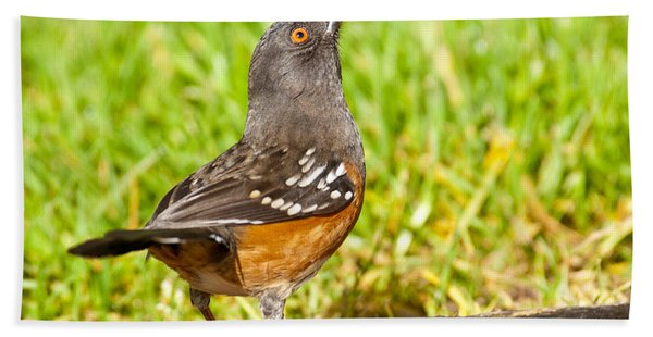 Spotted Towhee Looking Up Hand Towel