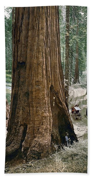 Yosemite Sequoia, C1900 Bath Towel