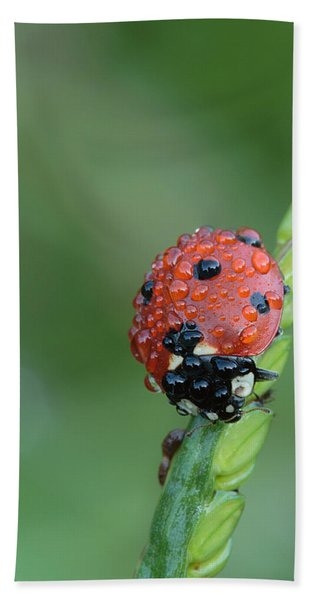 Seven-spotted Lady Beetle On Grass With Dew Bath Towel