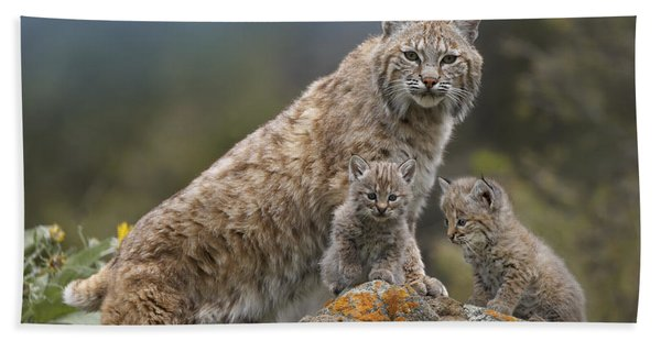 Bobcat Mother And Kittens North America Bath Towel