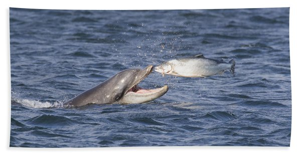 Bottlenose Dolphin Eating Salmon - Scotland  #36 Bath Towel