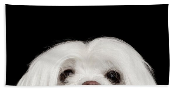 Closeup Nosey White Maltese Dog Looking In Camera Isolated On Black Background Hand Towel