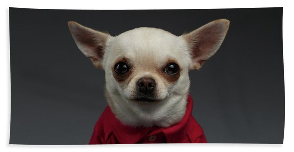 Closeup Portrait Chihuahua Dog In Stylish Clothes. Gray Background Hand Towel