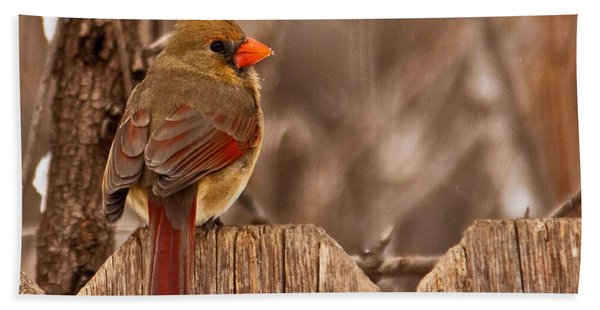 Female Cardinal On The Fence Hand Towel